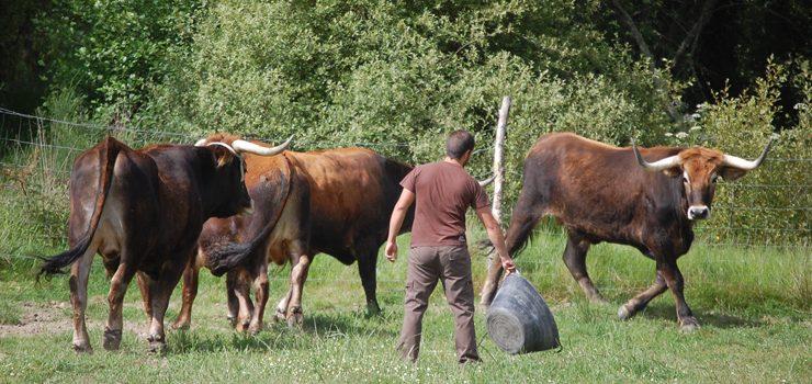 Comeza a comercialización da carne de boi de Allariz