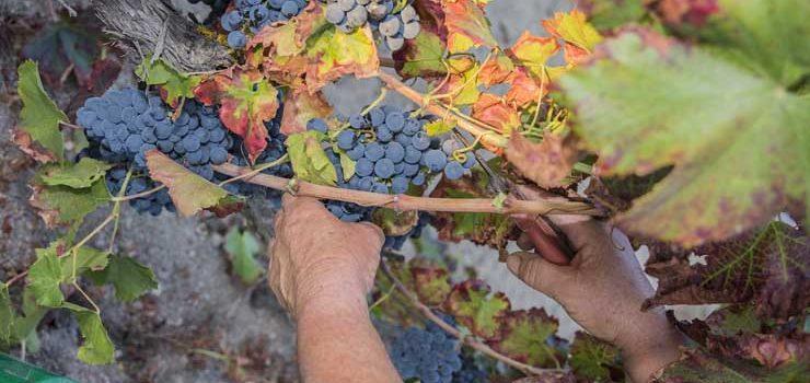 A D.O. Valdeorras intensifica o control sobre as súas uvas