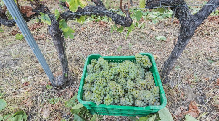 A vendima en Valdeorras remata cun 29% menos de uva recollida