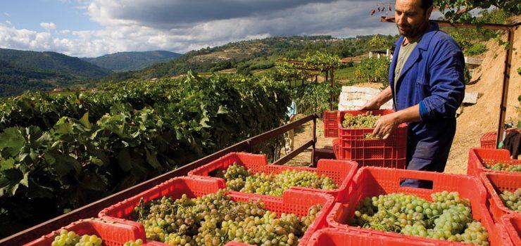 La D.O. Ribeiro recogió un total de 11,6 millones de kilos de uva