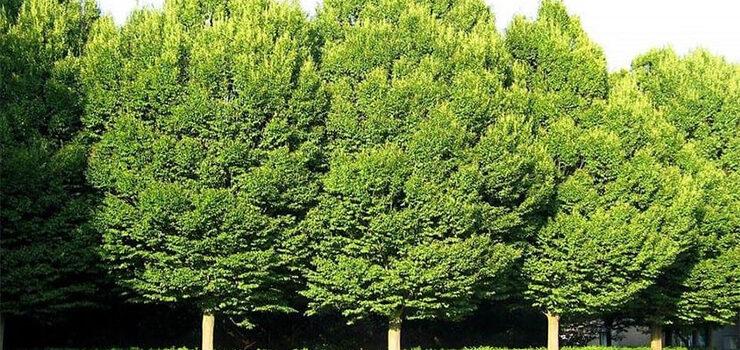 A Aula da Natureza do Río Miño repartirá 1.000 árbores entre colexios e organizacións ecoloxistas da cidade
